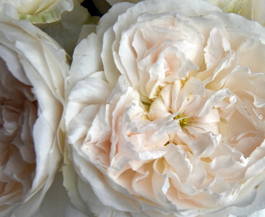 David Austin Wedding Rose Purity
