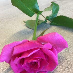 Jacaranda rose