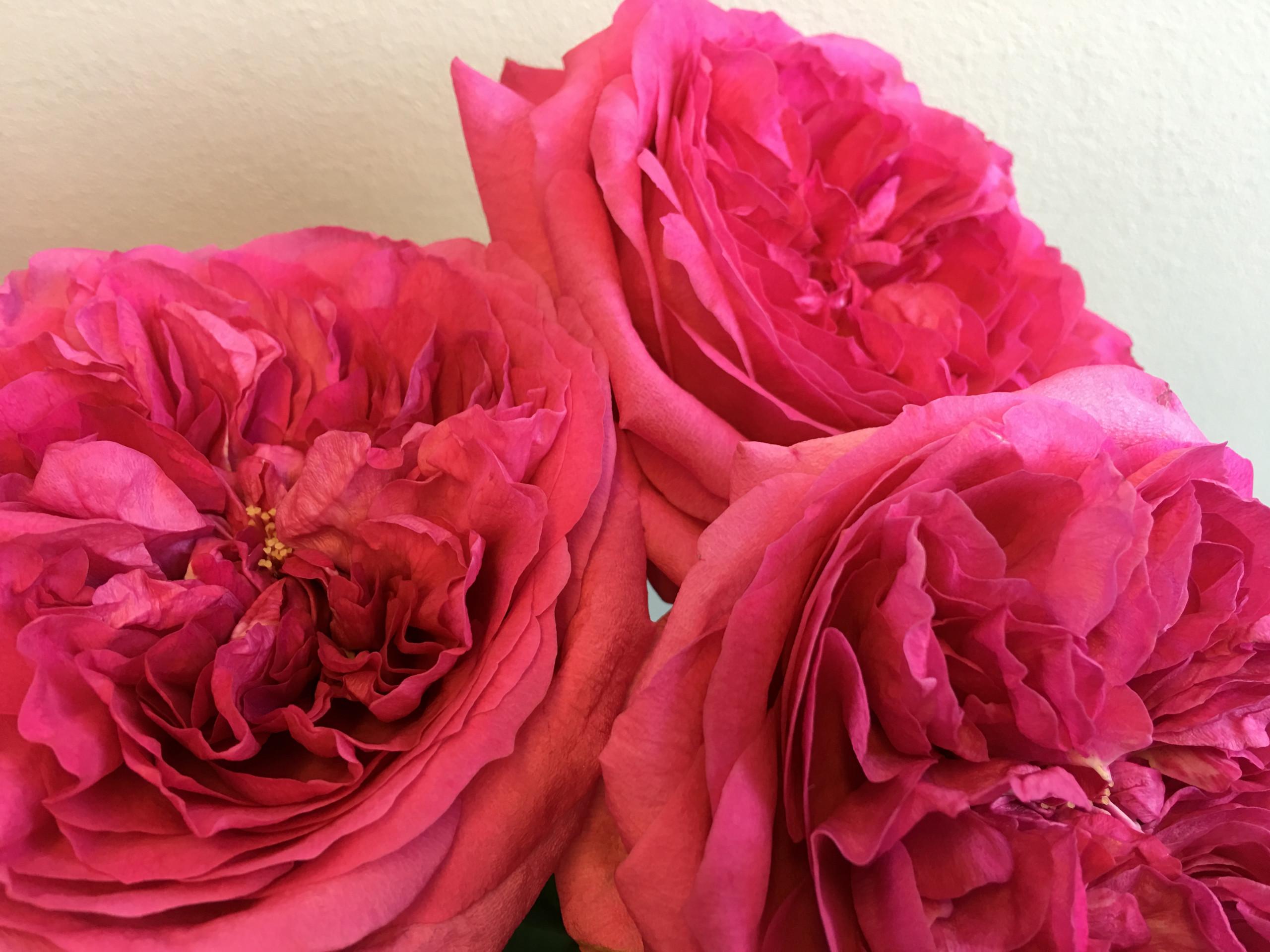 David Austin Wedding Rose Capability