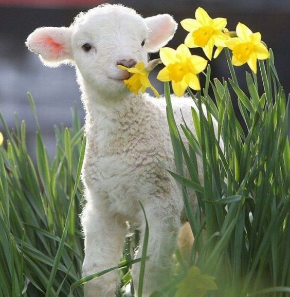 This cute little lamb smelling the daffodils.