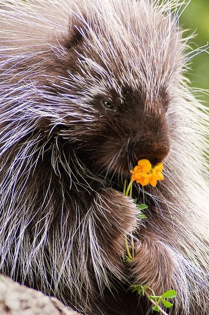 A porcupine smelling some of nature's goodness.