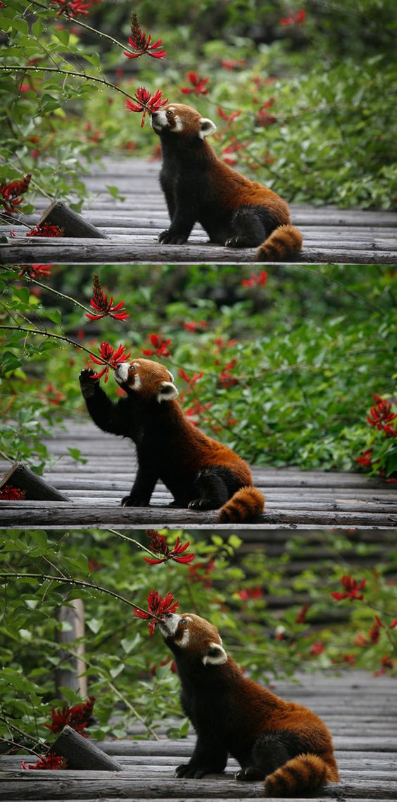 This red panda is totally going for it.