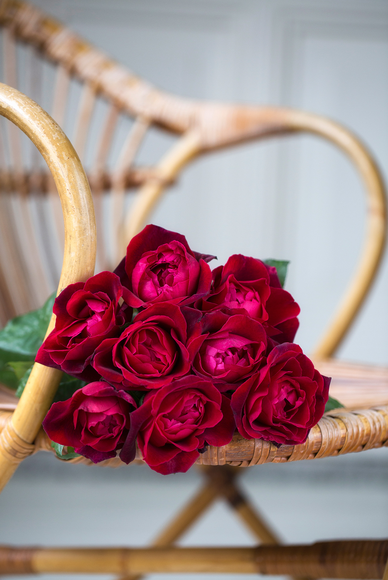 The red rose Extase is a gorgeous rose with a rich and fruity fragrance. Extase opens to a beautiful shaped rosette with a deep red color and develops velvety purple tones as the bloom ages.