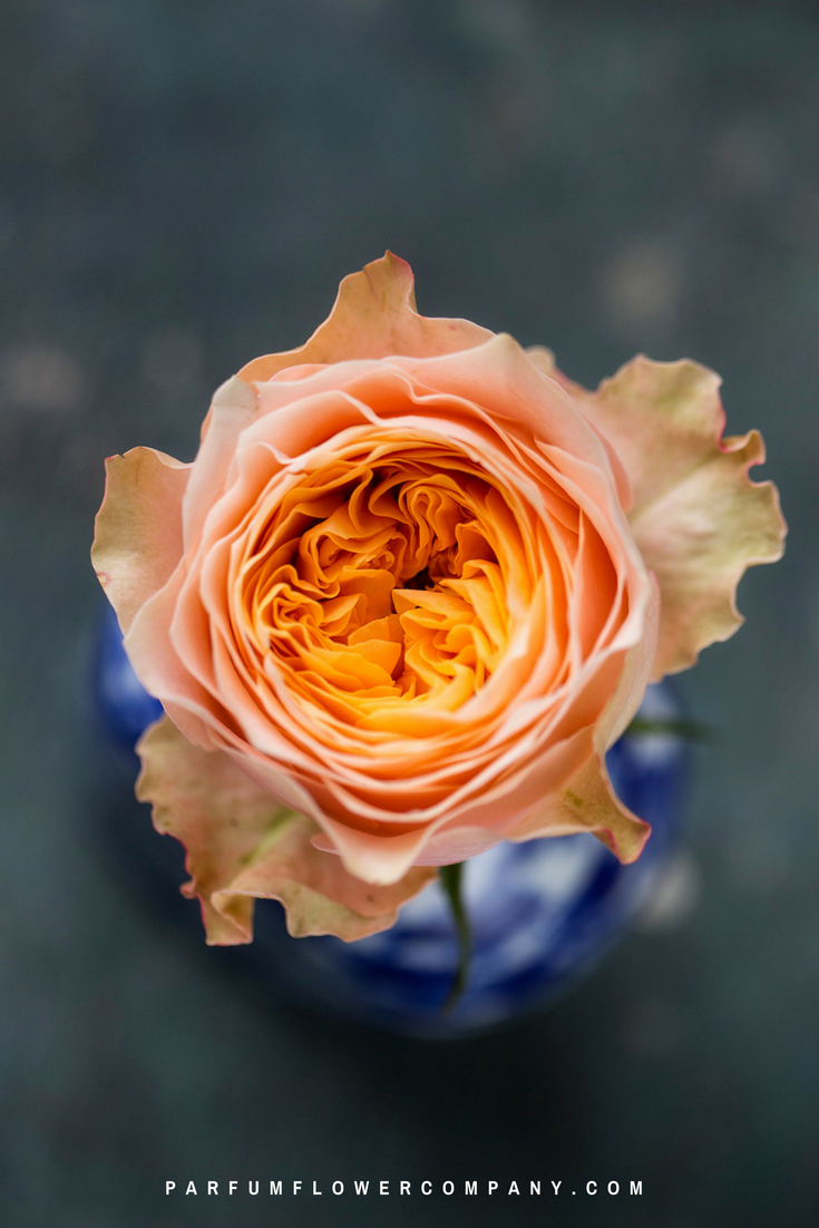 other varieties of - Peach Garden Rose