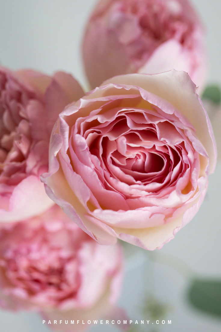 Pink roses for this wedding season: Meilland Jardin & Parfum rose Princesse Charlene de Monaco.