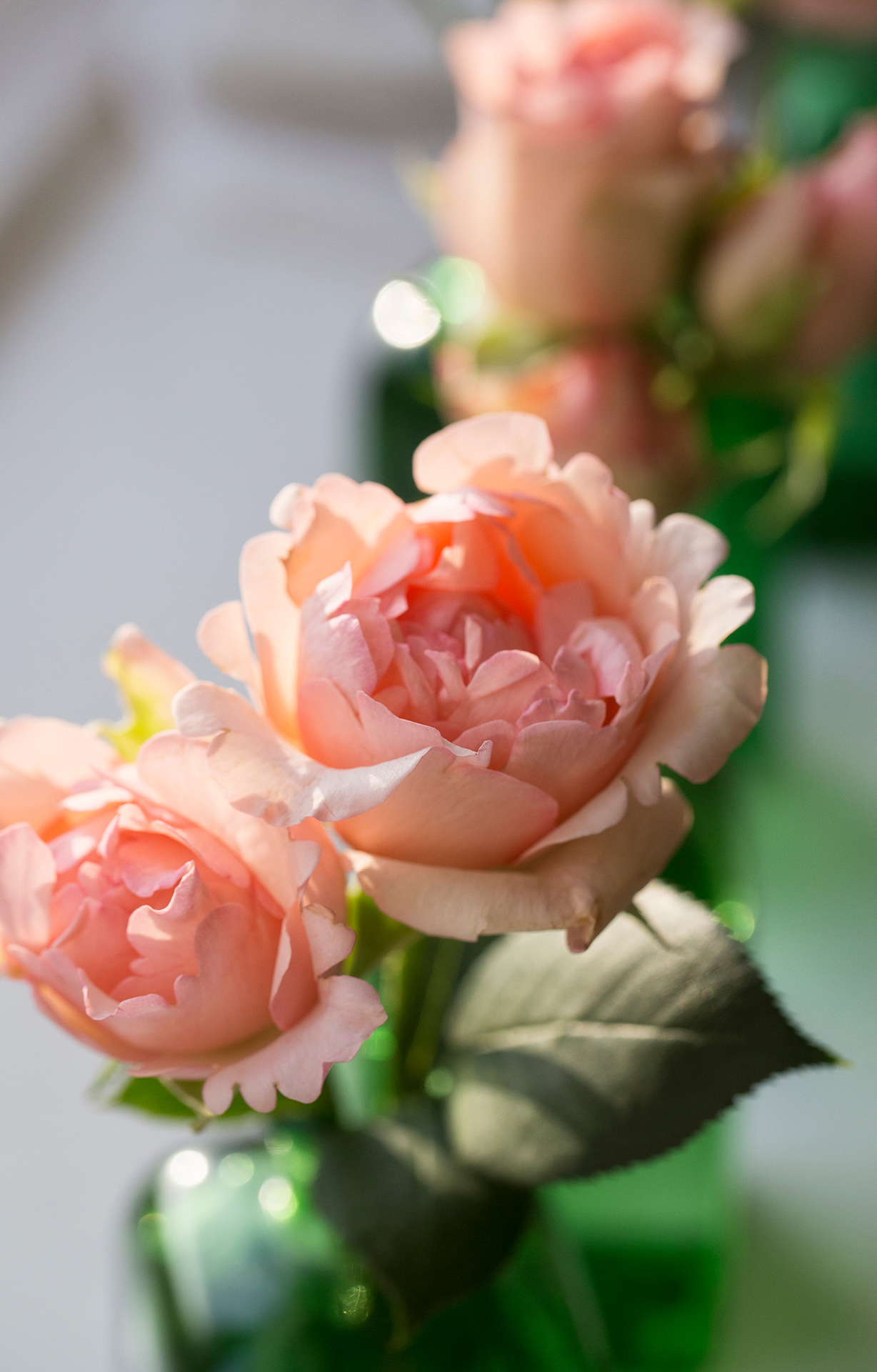 This smaller scale garden rose Sweet Perfumella, with her delicate, light fragrance resembling a candy cane is an ideal choice for mixed bouquets and floral arrangement with a peach/coral theme.