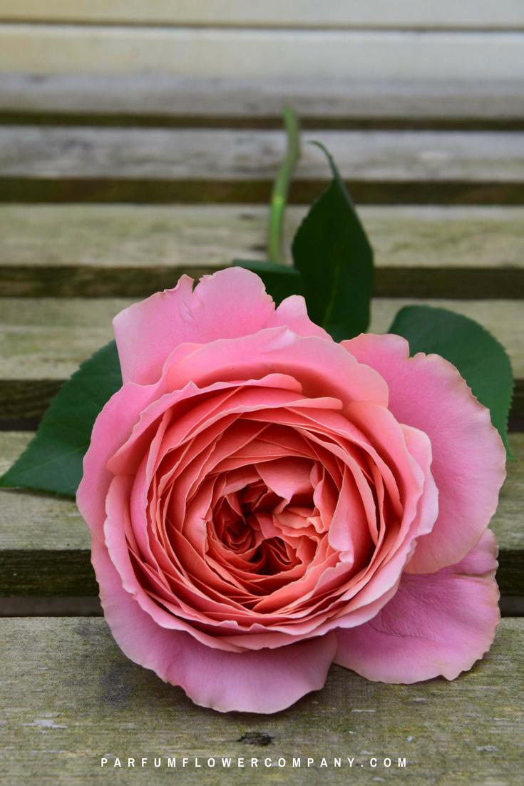 Green And Pink Roses Premium Garden Rose Ro...