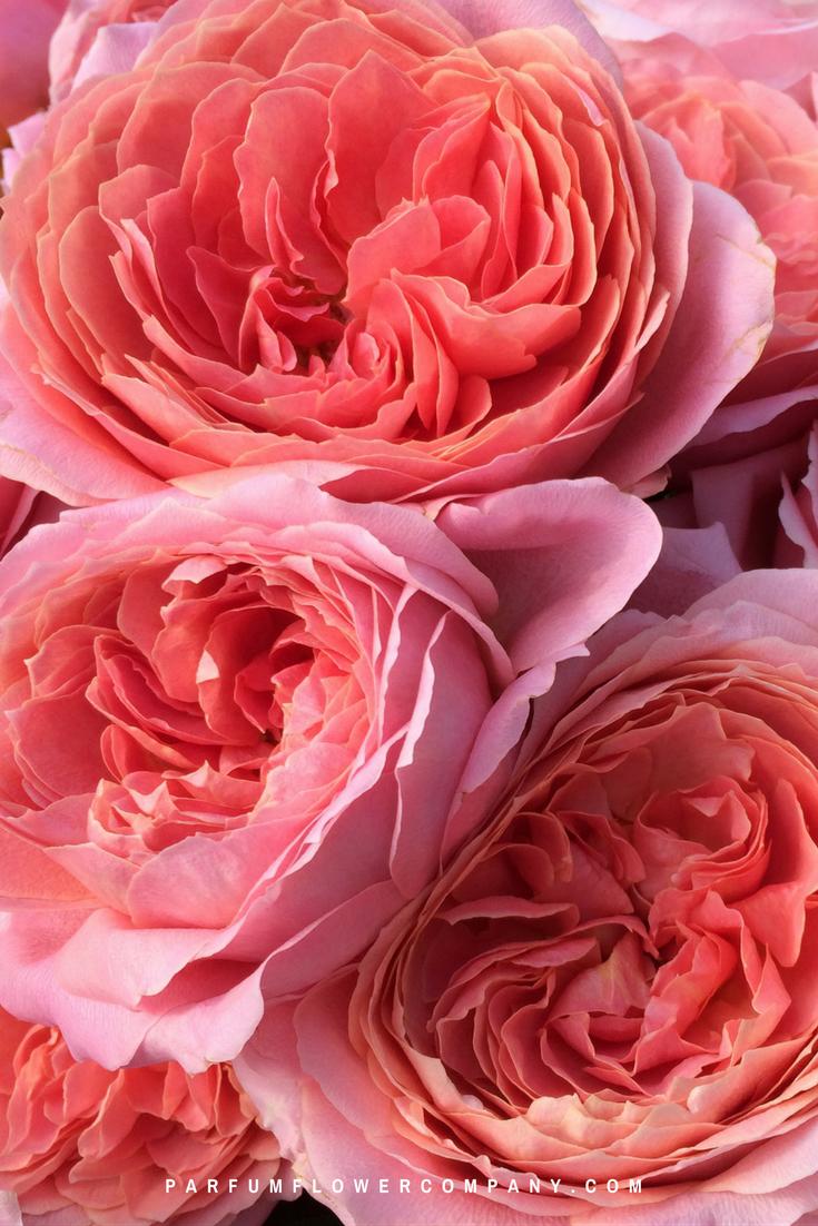 premium garden rose romantic antike