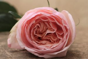 Belle Romantica Garden Rose