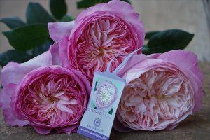 Constance Garden Rose