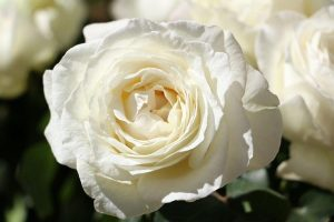 Irish Hope Garden Rose