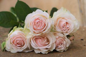 Moonstone - Gem Garden Roses