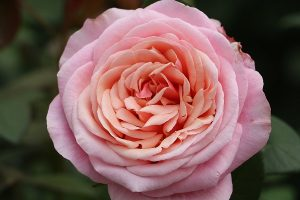 Paco Rabanne Garden Rose