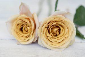 Golden Mustard roses