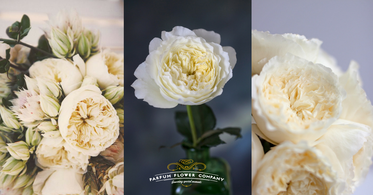 Buttermilk and lace – David Austin Wedding Rose Patience