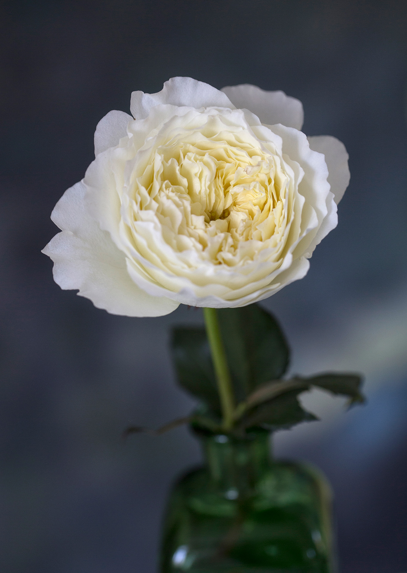 David Austin Wedding Rose Patience