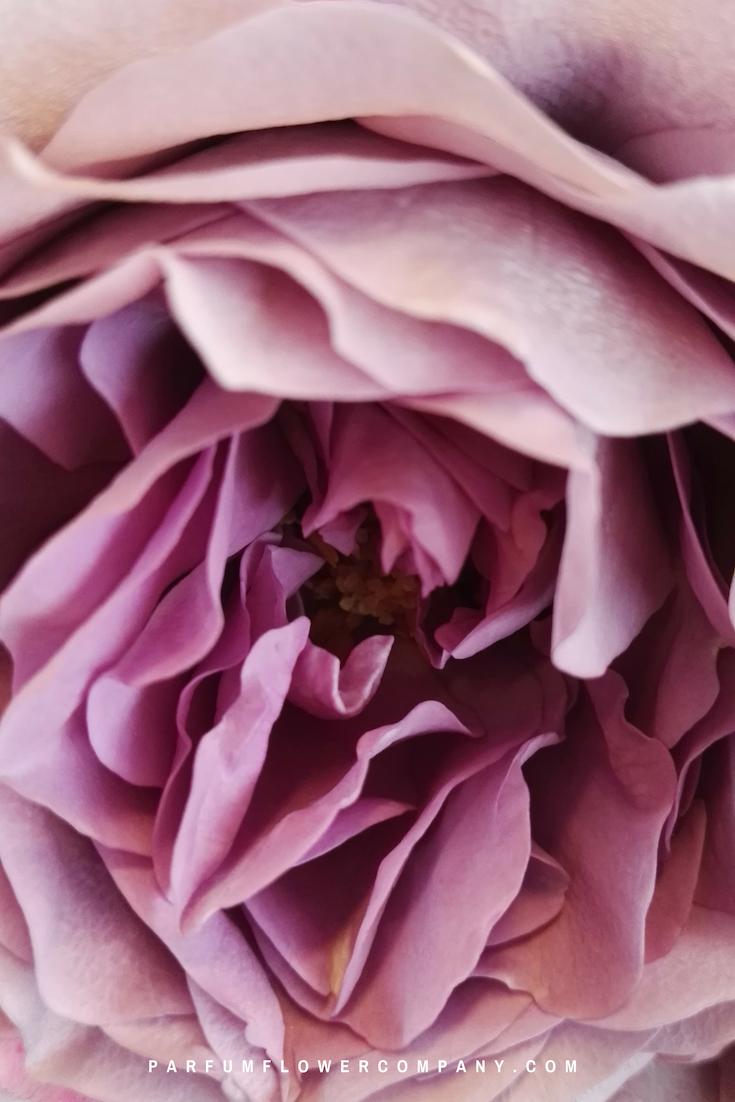 Roses In Garden: Premium Garden Rose Lavender Bouquet