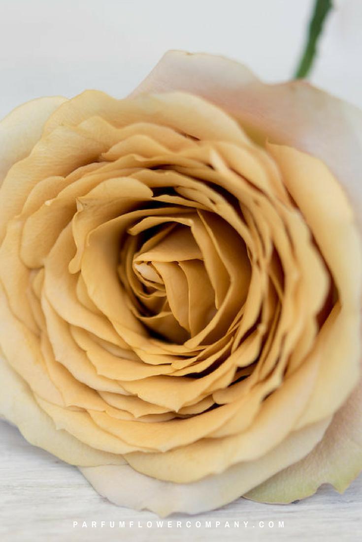 Roses In Garden: Premium Garden Rose Golden Mustard
