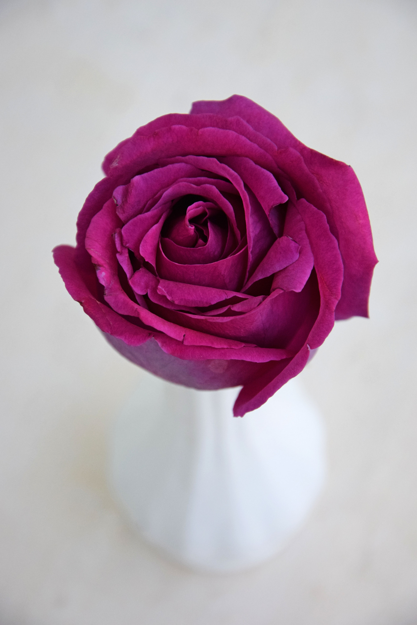 Not long ago this rose was renamed after the beautiful hotel on the Cote D'Azur: Belles Rives. Before then this rose was also known as 'Greffe de Vie' or 'Purple Perfumella'.
