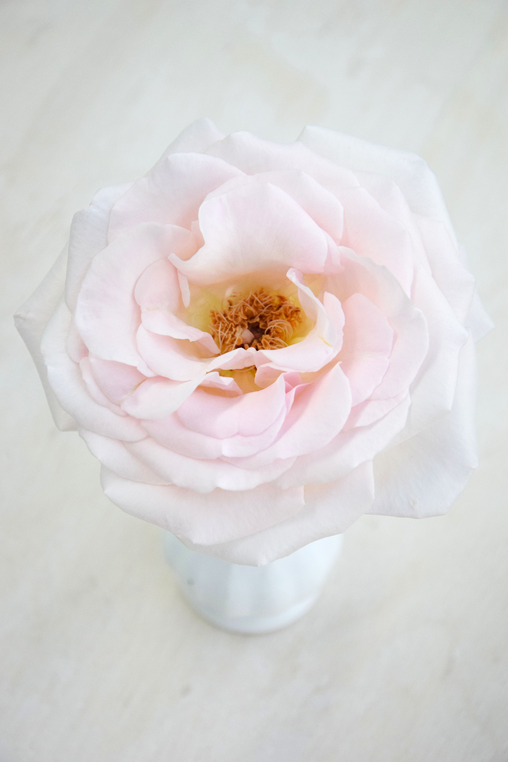 With a diameter of roughly 12 centimeters, the scented rose Prince Jardinier is a top pick of many florists and floral designers.