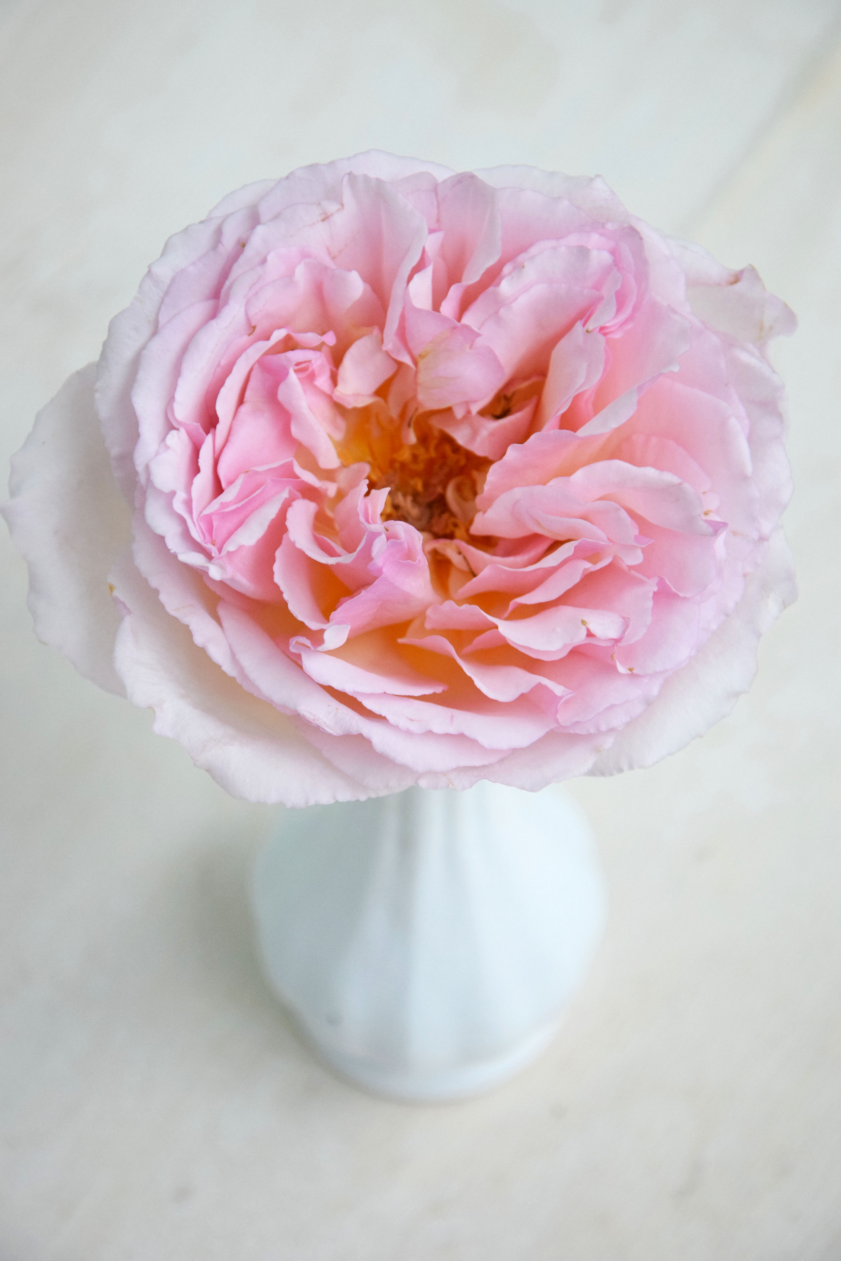 One of the most beautiful and delicious smelling roses from Meilland, 'Princesse Charlene de Monaco'.