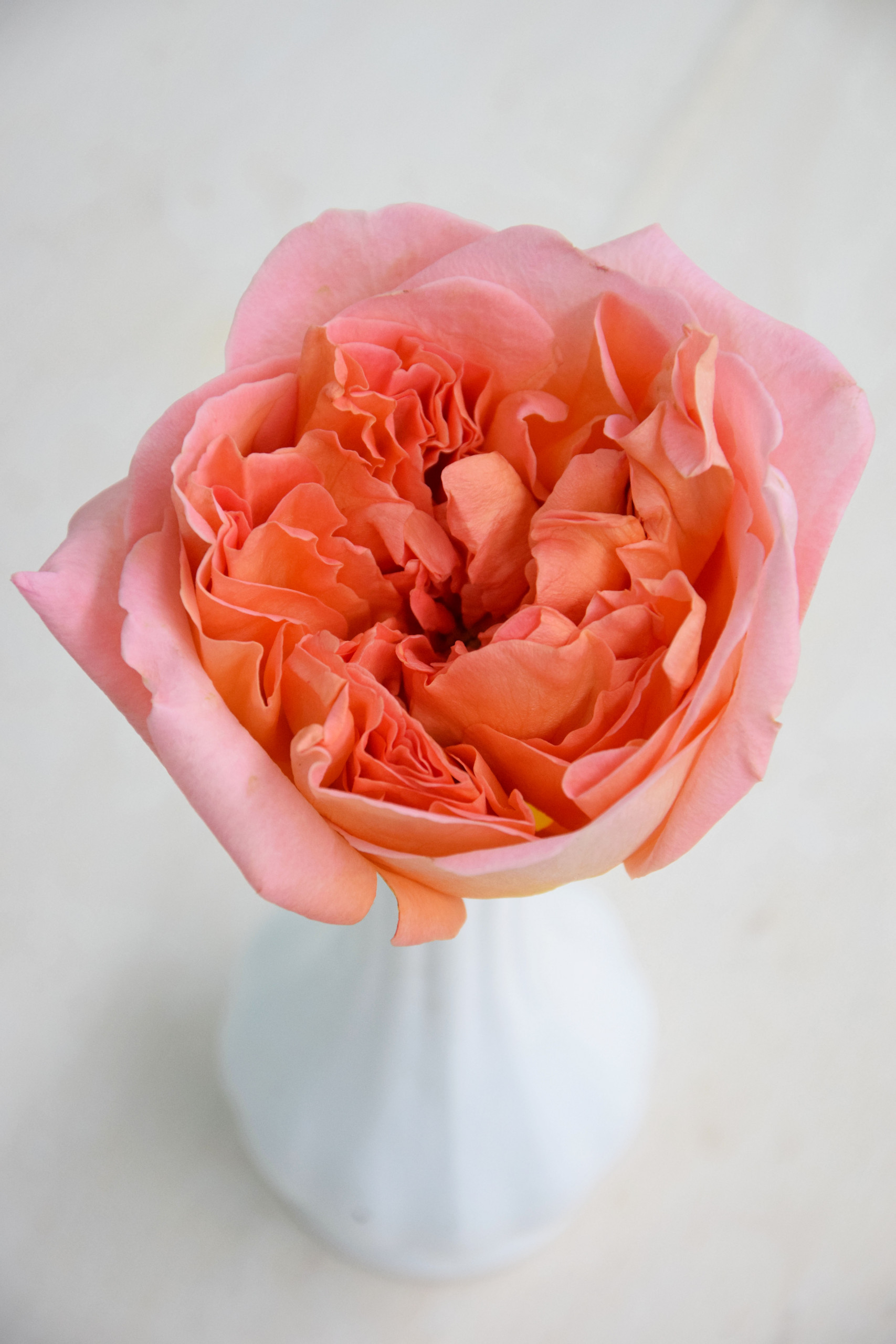Rene Goscinny is a deeply filled garden rose with a light apricot perfume. Each rose is a little different in color from one another. Sometimes a little darker peach in the center, sometimes more to mango orange color.