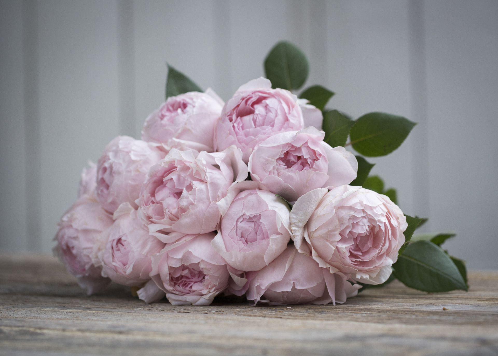 Peony pink scented roses