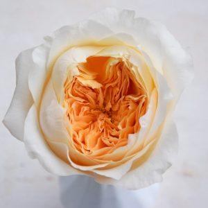 david-austin-wedding-rose-effie-alexandra-farms