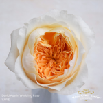 David Austin Wedding Rose Effie