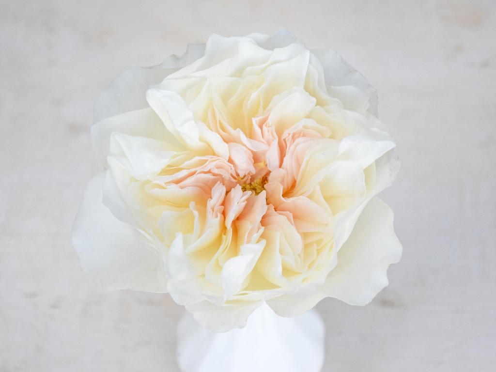 david-austin-wedding-rose-eugenie
