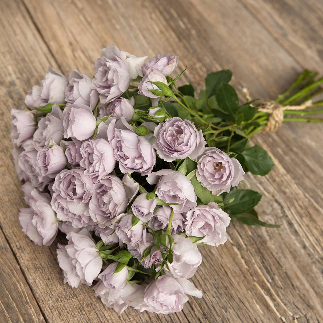 5 Heavenly Lavender Roses that You Will Love Everlasting Lavender Rose