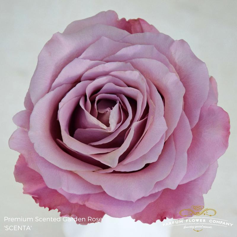 Lavender Roses Scenta