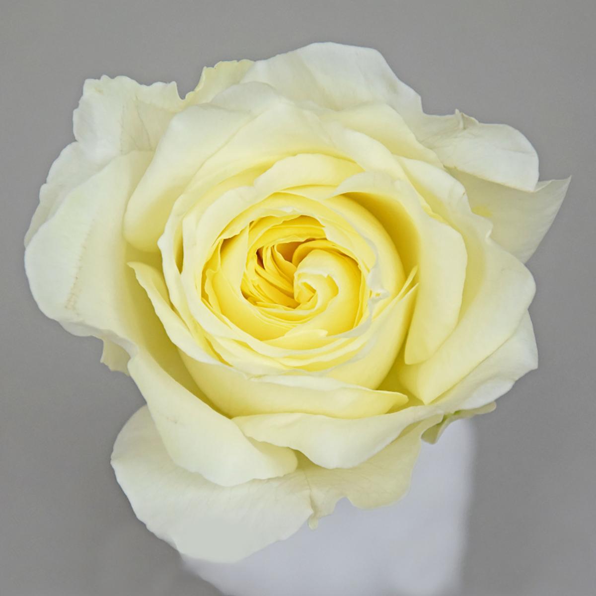 Roselie Romantica